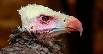 wool-head-vulture