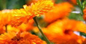 Artemisia annua – das neue natürliche Zaubermittel gegen Krebs?